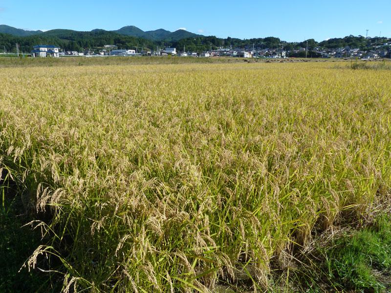 たわわに実った塩害田のお米